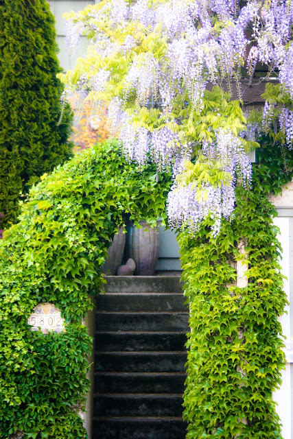 The wisteria is flowering here in Seattle.