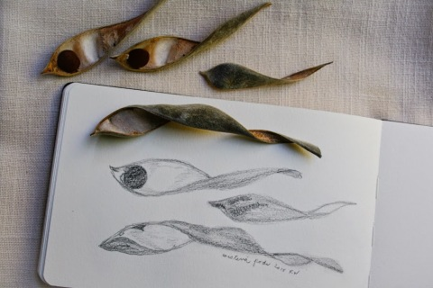Last year's wisteria seed pods, pencil sketch