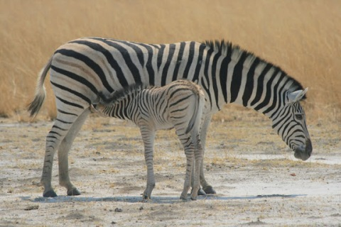 Zebra mare and baby, Sept 9, near Khwai River