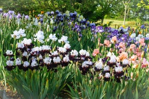 Kitty's iris garden on Samish Island