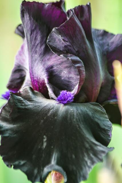 An iris so purple, it's black.