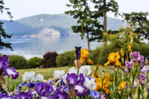 Kitty's iris garden on Samish Island