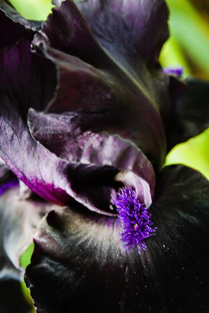The singularity of this particular iris