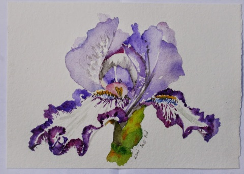Watercolor sketch of Iris from Kitty's garden