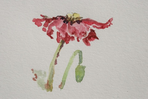 Watercolor sketch of poppy