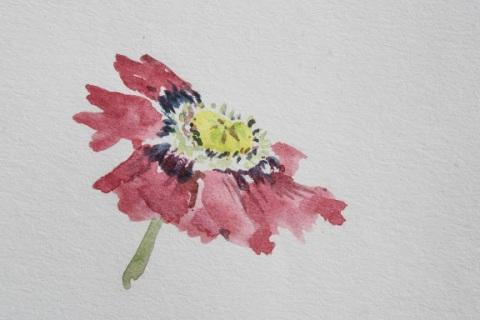 Watercolor sketch of poppy