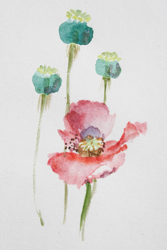 Watercolor sketch of poppy and pods