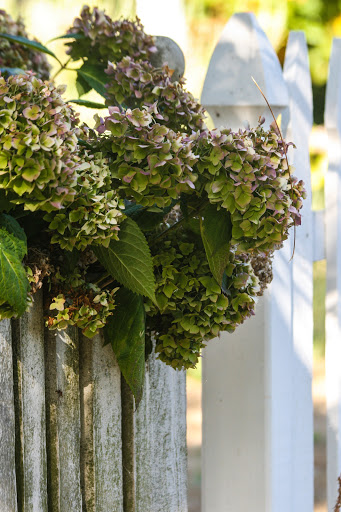 Dried hydrangea with picket fence