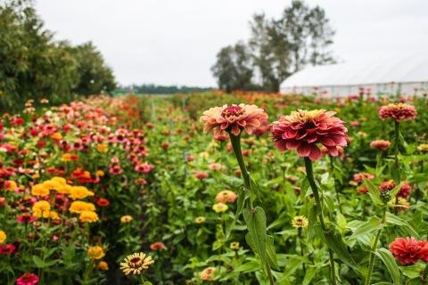 Zinnia field, Jello Mold Farm