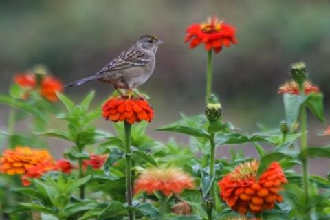 Sparrow in the zinnia beds, Jello Mold Farm