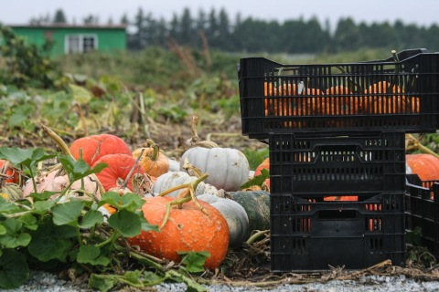 Harvested pumpkins, Jello Mold Farm