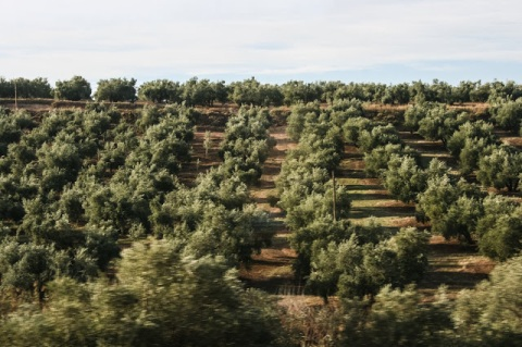 Olive trees as far as the eye could see