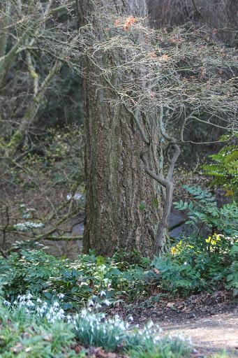 Snowdrops, Washington Park Arboretum
