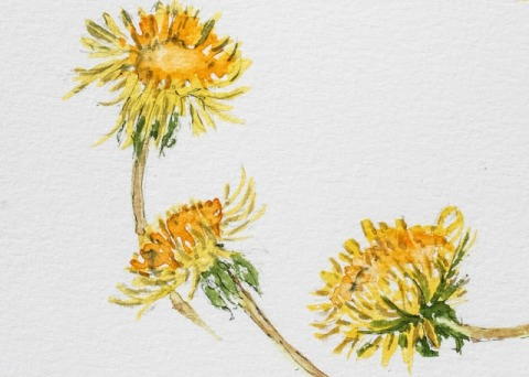Watercolor sketch of dandelions