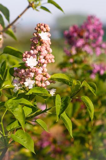 Syringa vulgaris 'Krasavitsa Moskvy'