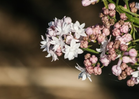 This variety of lilac has unusual multi-petaled flowers