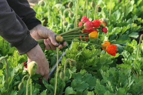 Harvesting poppies, Jello Mold Farm