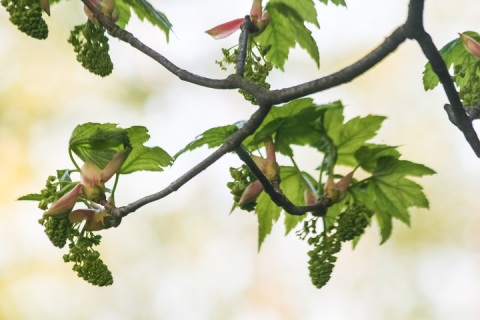 Big-leaf maple, new leaves and flowers