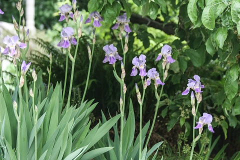 Inspiration for my latest painting -- a row of purple irises