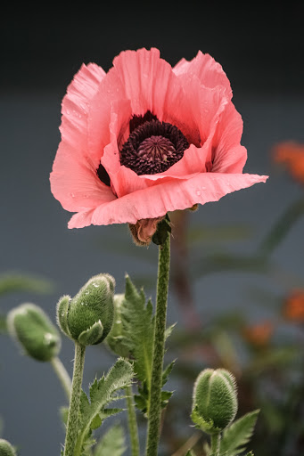 Single poppy with buds