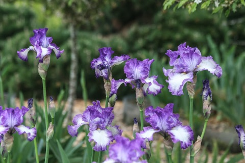 'Jessie's Song' irises from Kitty's garden on Samish Island