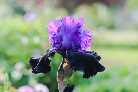 The velvety black petals of 'Matt McNames' iris