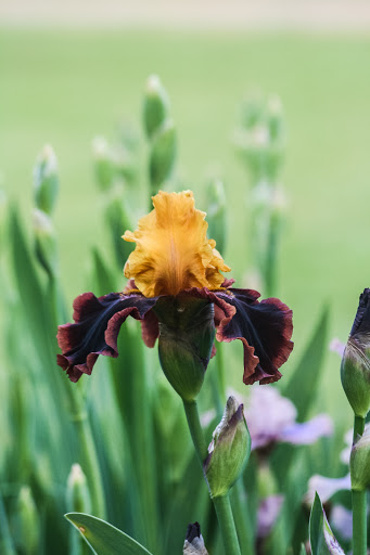 'Ancient Echoes' iris