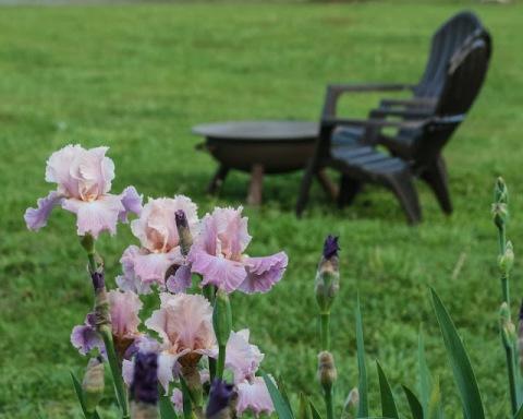 'Lily Pond' irises