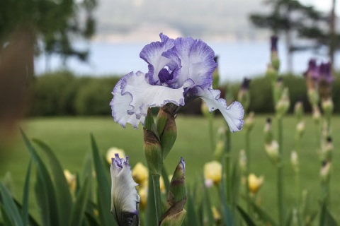 'Patriotic Hearts' iris