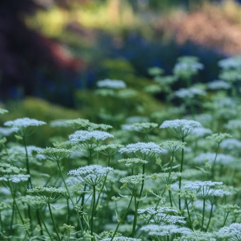 Queen Anne's lace