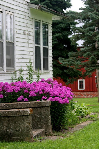 Phlox in the flower bed on the east side of the old farmhouse