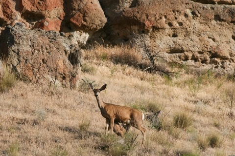 Doe and fawn, John Day Fossil Beds National Monument, Clarno Unit
