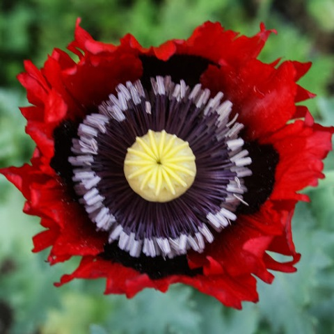 Red Poppy growing at Jello Mold Farm