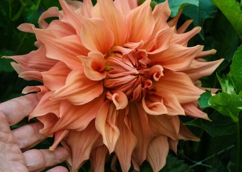 Dahlias (I put my hand in the picture to give you some idea of the size of these giants)