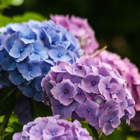 Hydrangeas in pinks and blues