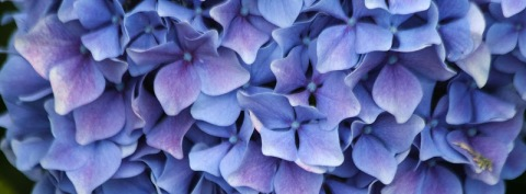 Hydrangeas in blues