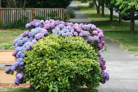 Hydrangea bush on a Ballard street