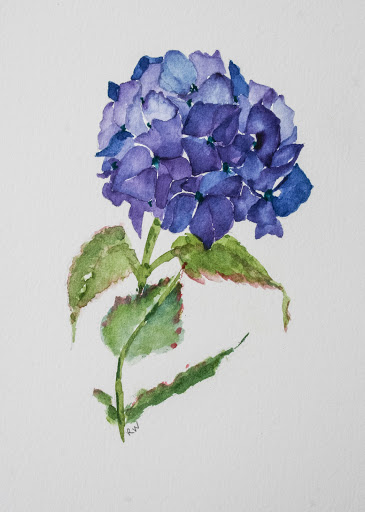 Watercolor painting of hydrangea