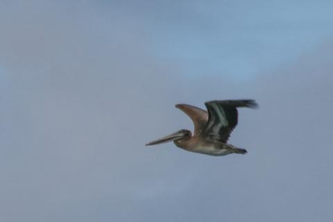 Brown pelican, Westport, WA