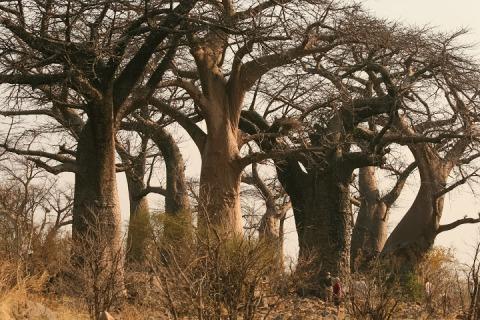 Baobab grove, Botswana, 2007