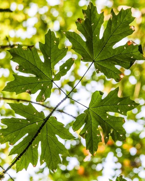 Big-leaf maple