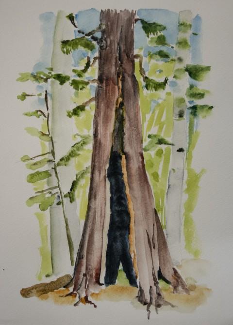Watercolor sketch of Western Red Cedar