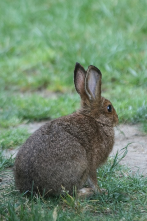 Rabbit outside the dining hall