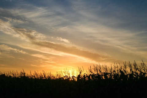 Sunrise over corn field