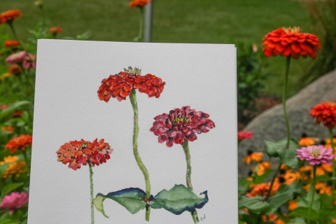 Watercolor sketch of zinnias in the from garden bed