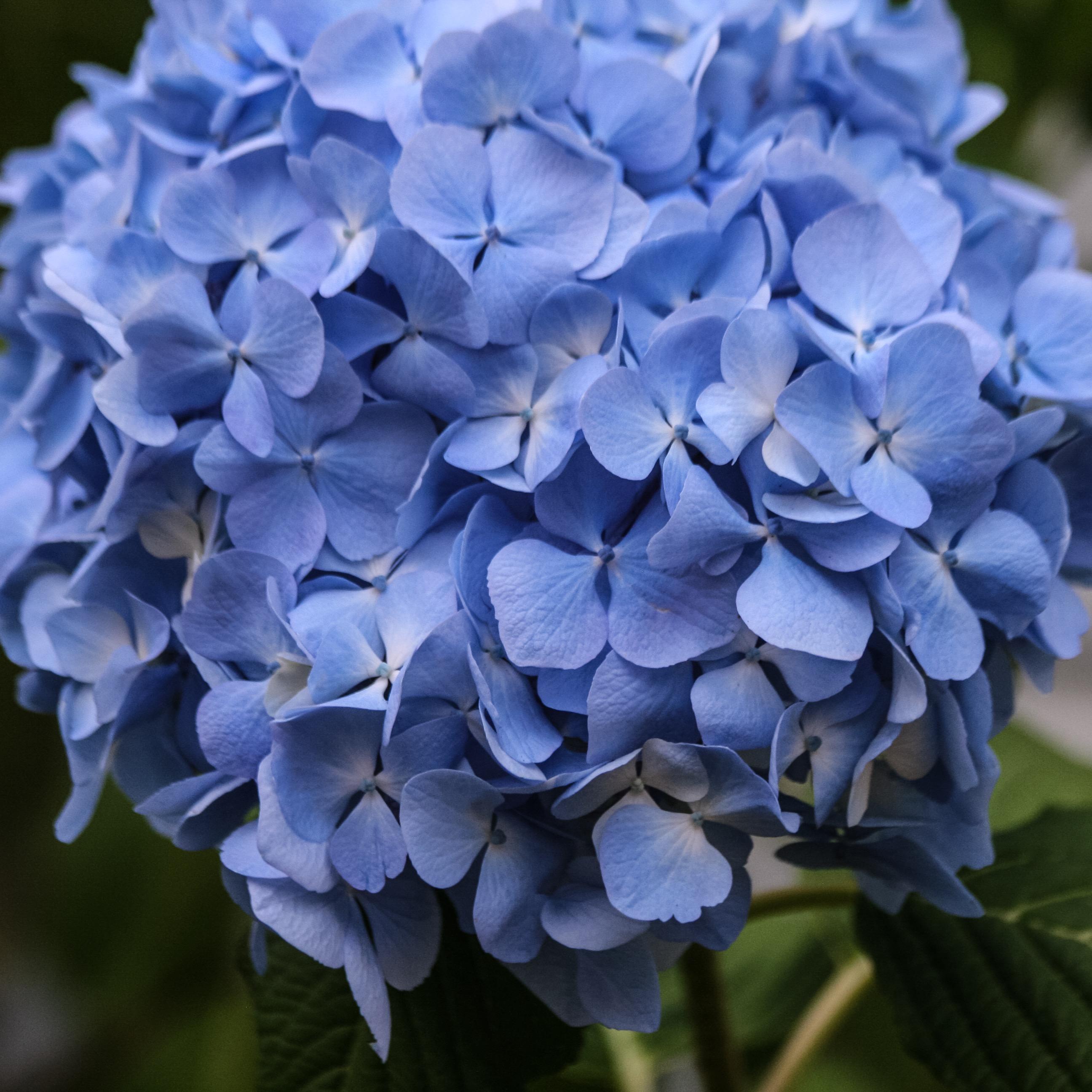 Fading Hydrangeas Rosemary S Blog