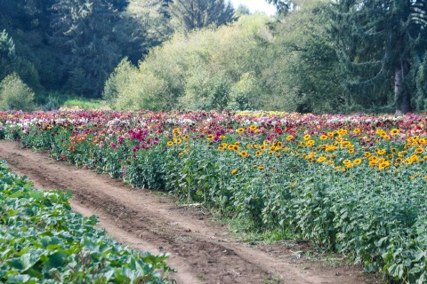 Old House Dahlia Farm in the Tillamook Valley