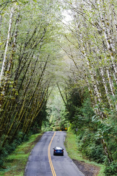 Driving into the Hoh Rain Forest, Olympic National Park