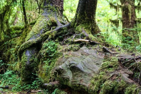 Nurse log, a fallen tree that nourishes new, young trees