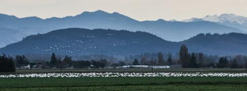 Skagit Valley snow geese